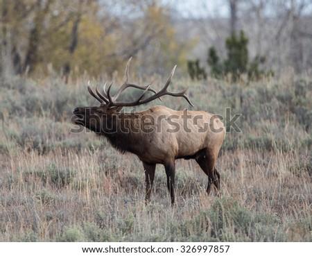Male Elk bugling in a field - stock photo