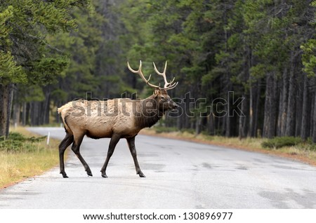 Male Elk or Wapiti (Cervus canadensis) crossing road in Banff National Park Alberta Canada - stock photo