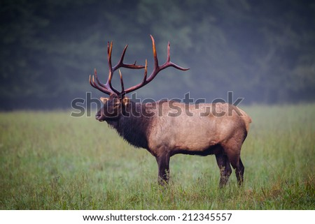 Male Elk with full rack of antlers stands in left profile - stock photo