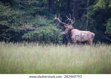 Male elk with huge rack stops to look right - stock photo