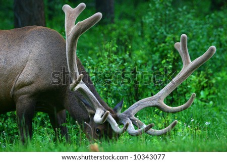 Male Elk with Large Antlers - stock photo