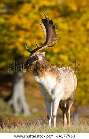 Male fallow deer strutting his stuff - stock photo
