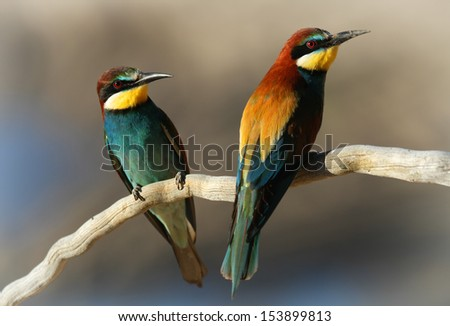 Male & Female European Bee-eater (Merops apiaster) perched on a branch.  - stock photo