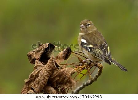 Male Finch - stock photo
