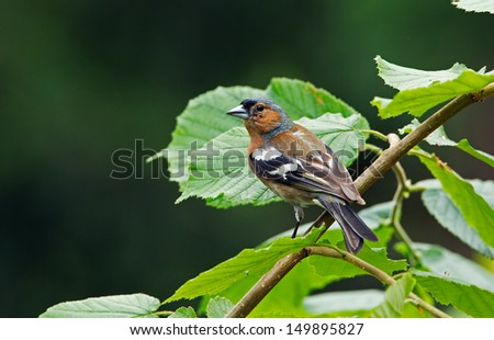Male finch on a branch. - stock photo