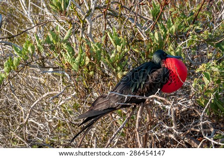 Male frigate bird with an inflated red gular pouch to attract females in the Galapagos. - stock photo