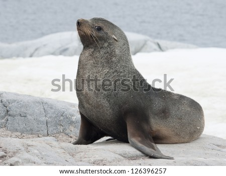 Male fur seal sitting on a rock on the coast of the Antarctic islands. - stock photo
