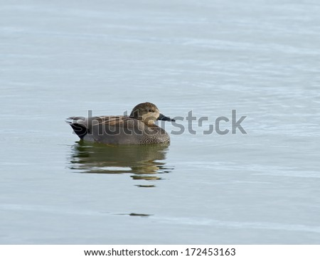 Male Gadwall duck on water with reflection - stock photo