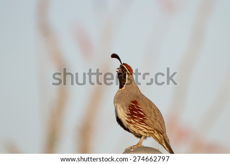 Male Gambel's Quail in Tucson Mountain Park, with Ocotillo cactus in the background - stock photo