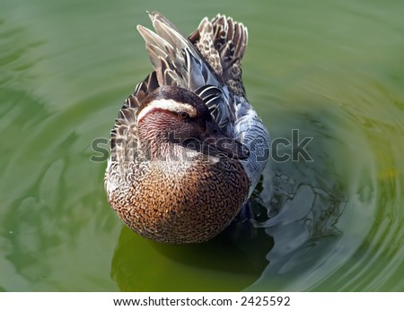 Male Garganey (Anas querquedula). A rare British waterfowl. - stock photo