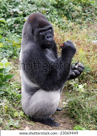 Male gorilla with food in his hands - stock photo