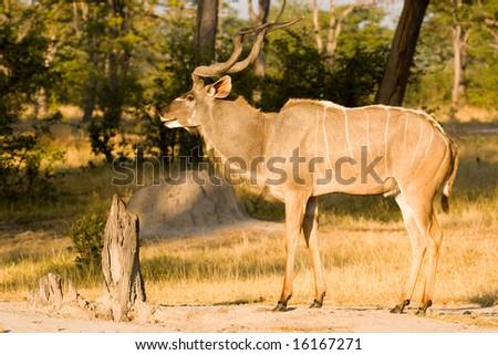 Male Greater Kudu (Tragelaphus strepsiceros) - stock photo