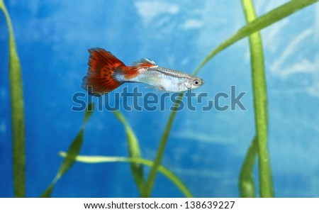 Male guppy fish in blue water - stock photo