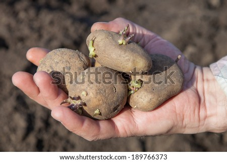 Male hand with sprouted potatoes for planting - stock photo
