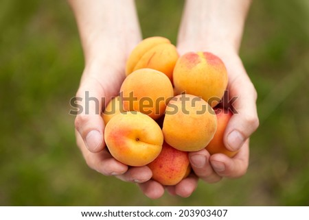 Male hands holding apricots in the garden - stock photo
