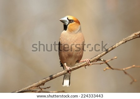 Male Hawfinch (Coccothraustes coccothrautes) on a branch. - stock photo