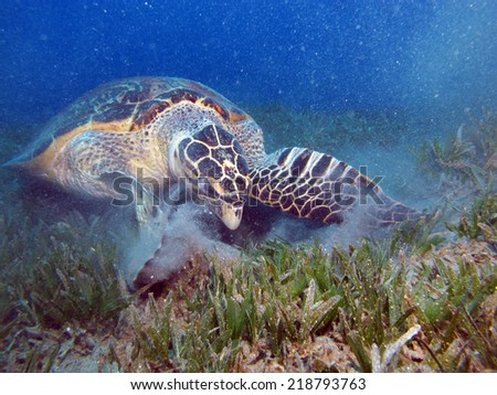 Male hawksbill turtle (Eretmochelys imbricata) rummaging for food inside a car tire  - stock photo
