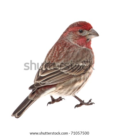 Male house finch, Capodacus mexicanus, isolated on white - stock photo