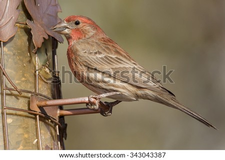 Male House Finch perched on a feeder. - stock photo