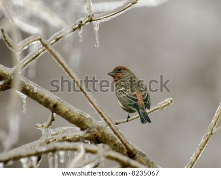 Male house finch perched on an icy tree branch - stock photo