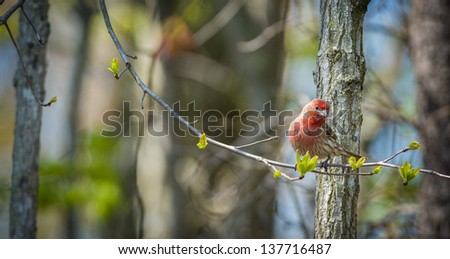 Male House finch perched on limb in early Spring - stock photo