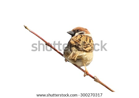 male house sparrow ( Passer domesticus ) on twig, isolation over white background - stock photo