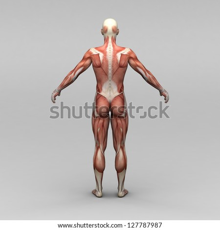 Male human anatomy and muscles - stock photo