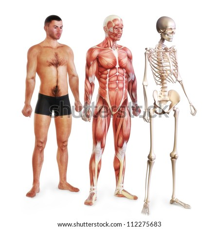 Male illustration of skin, muscle and skeletal systems isolated on a white background. 3d models. Female version also available. - stock photo