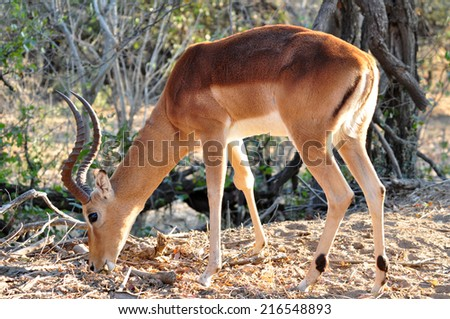 Male Impala Antelope in the Kruger National Park, South Africa. - stock photo