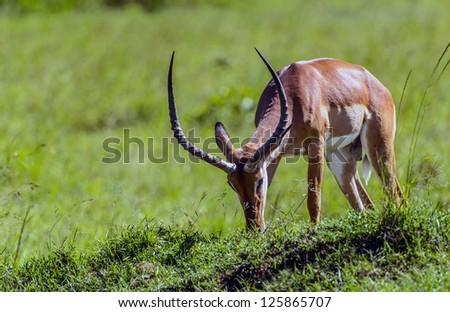 male impala antelope in the masai mara reserve in kenya africa - stock photo
