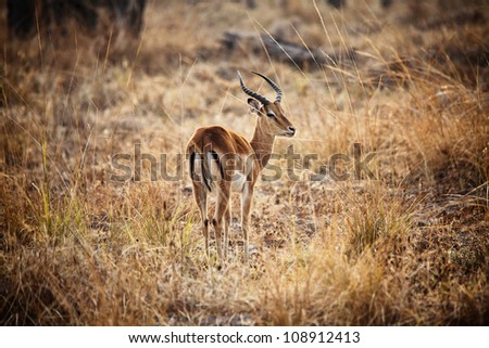 male impala in luangwa national park zambia - stock photo