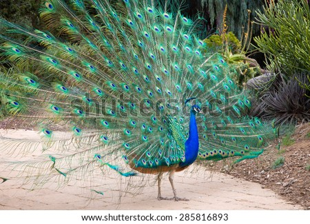 Male Indian Peacock displays its iridescent blue and green plumage. - stock photo