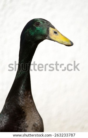 Male Indian Runner Duck, Anas platyrhynchos domesticus - stock photo