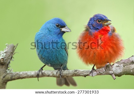 Male Indigo Bunting and Male Painted Bunting - stock photo