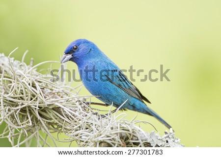 Male Indigo Bunting on Mossy Branch - stock photo