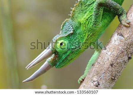 Male Jackson's Chameleon (Trioceros jacksonii) - stock photo