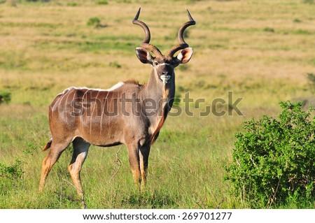 Male Kudu buck  - stock photo