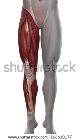 Male leg muscles anatomy isolated - stock photo