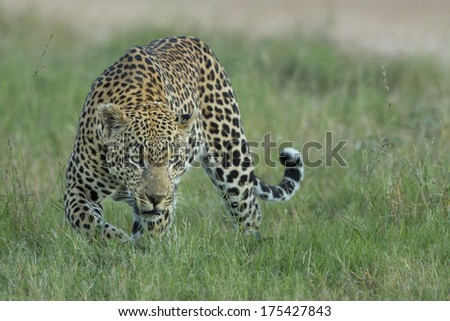 Male Leopard hunting in South Africa's Mala Mala Private Game Reserve - stock photo