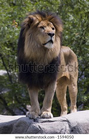 Male Lion - stock photo