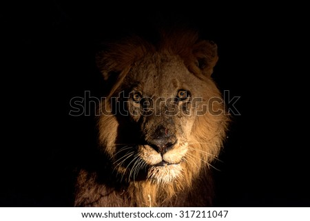 Male lion at night at a cape buffalo kill in Sabi Sands Game Reserve in greater Kruger National Park, South Africa - stock photo