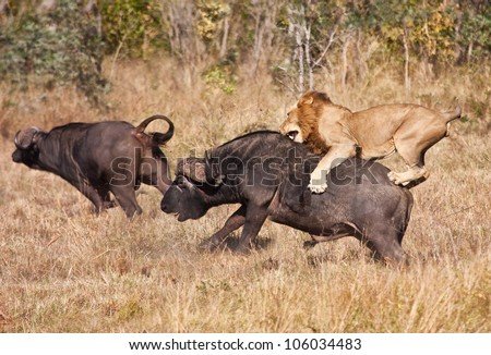 Male lion attack huge buffalo bull while riding on his back - stock photo