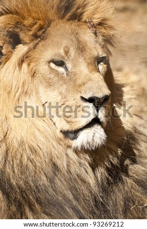 Male lion    Close up portrait of a male lion, the king of animals - stock photo
