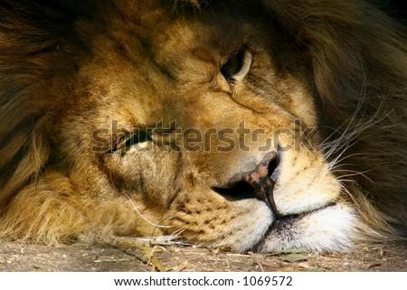 Male Lion Face - stock photo