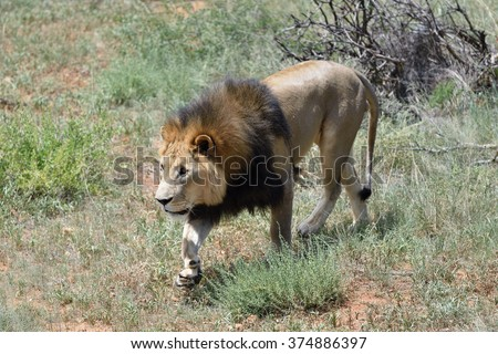 Male lion hunting in African savanna, Namibia - stock photo