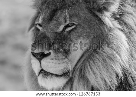 Male Lion in all of his glory black and white portrait - stock photo