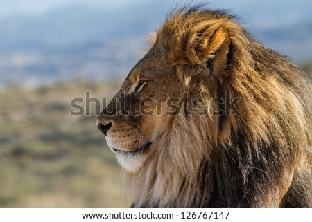 Male Lion in all of his glory profile view - stock photo