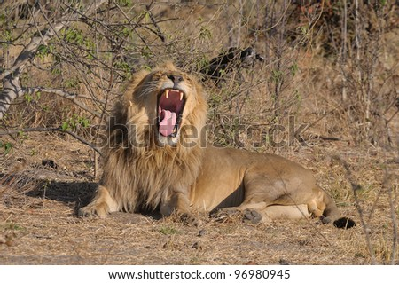 Male Lion in Khwai area of Botswana, Africa - stock photo
