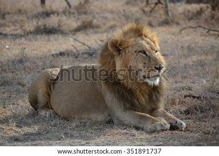 Male Lion Kenya - stock photo