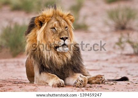 Male lion lay in kgalagadi on san resting and looking - stock photo